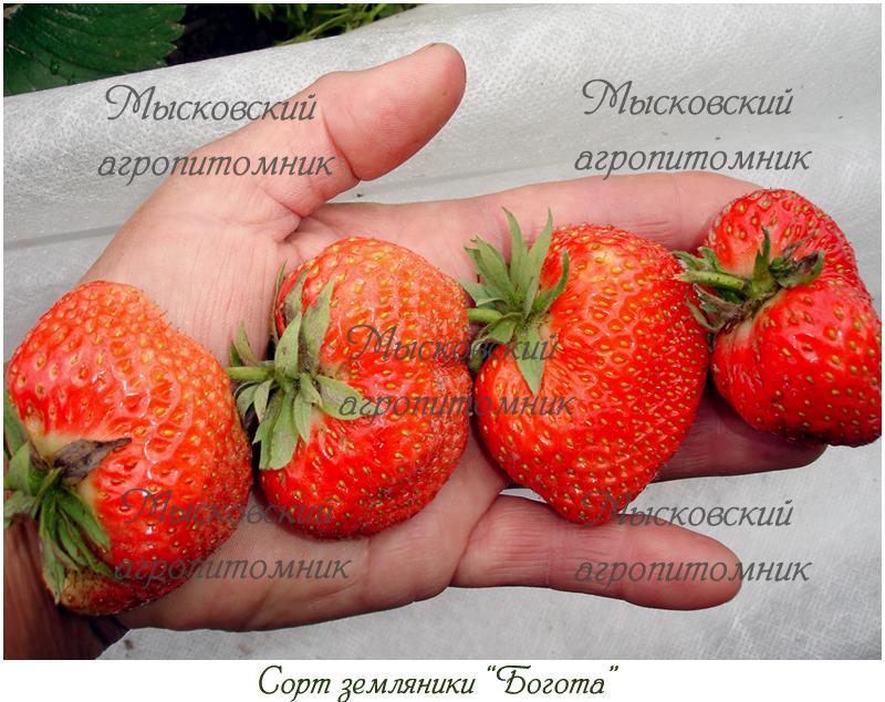 Красавица Загорья * | Каталог сортов садовой земляники